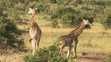 Two Giraffes In The Distance