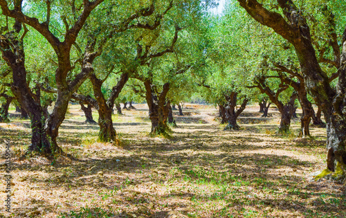 In de dag Olijfboom The olive grove.