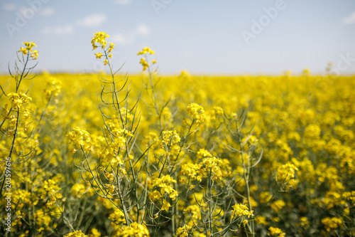 Staande foto Meloen field of rapeseed with beautiful cloud - plant for green energy