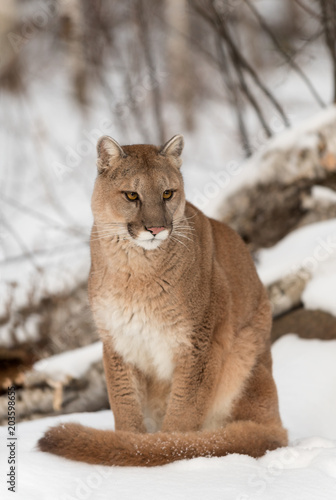 b60deb409384 Adult Female Cougar (Puma concolor) Sits Looking Grumpy - Buy this ...