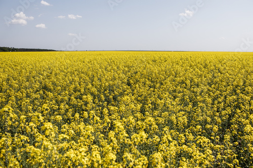 Deurstickers Meloen rapeseed, rapeseed field, field with rape, blossoming field