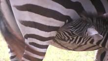 Young Zebra Sucking
