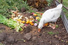High Angle View Of White Goose Eating Food Scraps From Compost (selective Focus)