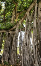 Close Up An Aerial Roots Of Banyan Tree In Honolulu, Hawaii.