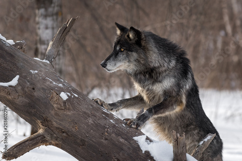 Black Phase Grey Wolf (Canis lupus) Paws Up on Log