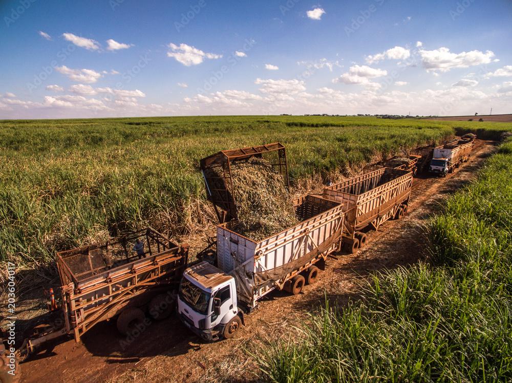 Fototapety, obrazy: Sugar cane hasvest plantation