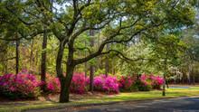 Spring Blooming Azalea In South Carolina