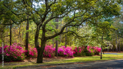 In de dag Azalea Spring blooming Azalea in South Carolina