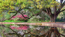 Azalea Garden In Spring - South Carolina With Live Oaks