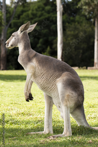 Foto op Canvas Kangoeroe Kangaroo outside during the day time.