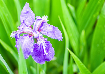 purple gladdon flower blooming in spring on green leaves background