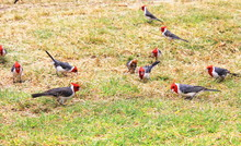 The Red-crested Cardinal Who H...