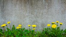 Dandelion Plant Growing At Concrete Wall - Survivor Environment Concept