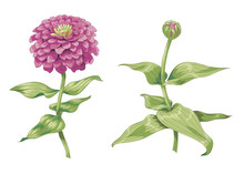 Beautiful Pink Zinnia Flowers Isolated On White Background. One Unblown Bud On A Stem With Green Leaves. Botanical Vector Illustration.