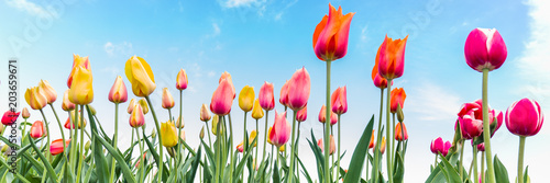 Panorama with colorful Dutch tulips in the field against a blue sky