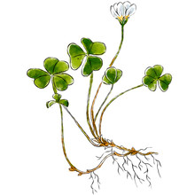 Hand Drawn Wild Plant Oxalis Isolated On White Background. Botanical Element For Your Design. Herbal Illustration.
