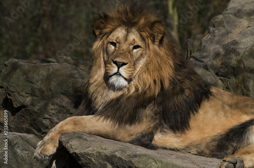 Foto op Plexiglas Leeuw lion resting on rocks