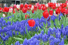 Red Tulips And Blue Grape Hyacinths In Harmony Of Spring Colors