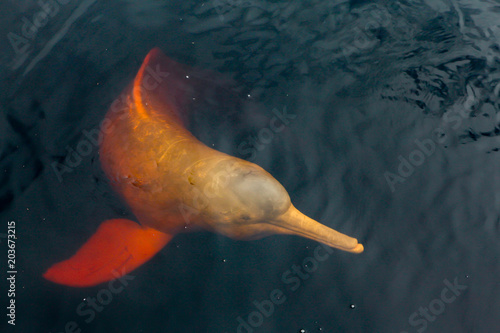 A rare pink dolphin boto cor de rosa swimming on the Negro River in the Brazilian Amazon Canvas Print