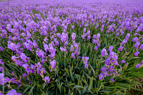 Foto op Canvas Iris Champ iris pallida top vue. Provence, France.