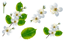 Flowering Branch Of Cherry Iso...