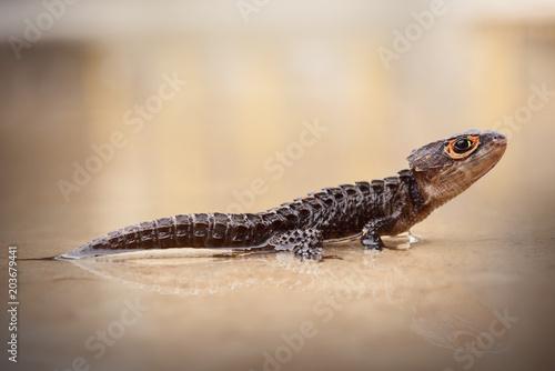 Crocodile Skink , Tribolonotus Gracilis, Lizard, Gecko Poster
