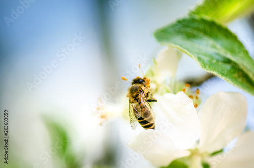 Foto op Canvas Bee Honey bee on a white flower and collecting polen. Flying honeybee. One bee flying during sunshine day. Insect.