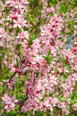 Panel Szklany Drzewa Almonds (Prunus dulcis) in bloom. Tree branches covered with many pink flowers
