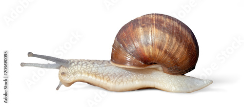 Garden snail isolated on white background