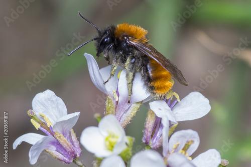 Recess Fitting Bee Female Tawny Mining Bee - Andrena fulva