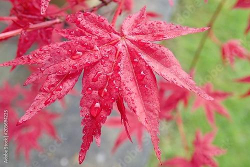 Close Up Of Acer Palmatum Osakazuki Japanese Maple Buy This
