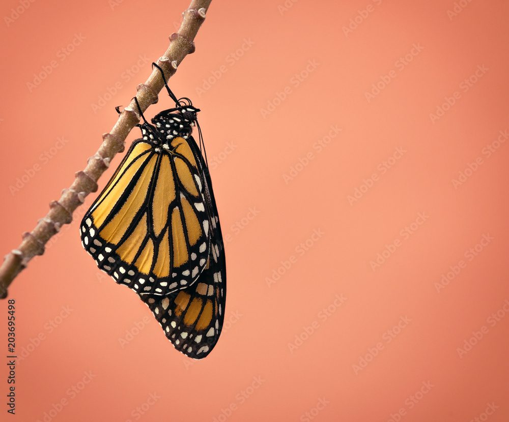 Newly emerged female Monarch butterfly (danaus plexippus) hanging on milkweed branch in Texas. Beautiful detail on wings and proboscis. Copy space.