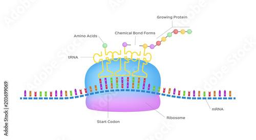 Fotografia  Protein synthesis vector / ribosome assemble protein molecules