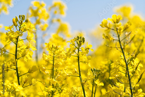 Foto op Plexiglas Oranje Farben des Frühlings: gelb und blau, Rapsfeld unter blauem Himmel :)