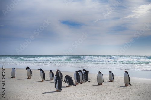 Canvas Print Gentoo Penguins on the beach at Saunder's Island, The Falklands
