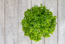 Fresh Green Basil Herb In Flowerpot On A Wooden Table