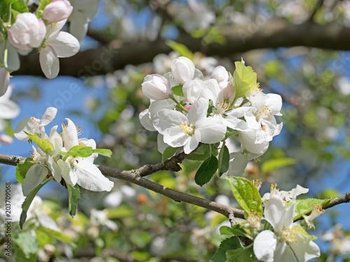 Plakat apple kwiaty