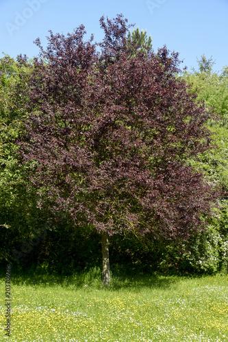 Myrobolan, Prunier myrobolan, Prunus cerasifera