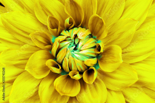 Spoed Foto op Canvas Geel Dahlia yellow cyan flower closeup. Can be used in the design of the site and in printing. Also good for designers.