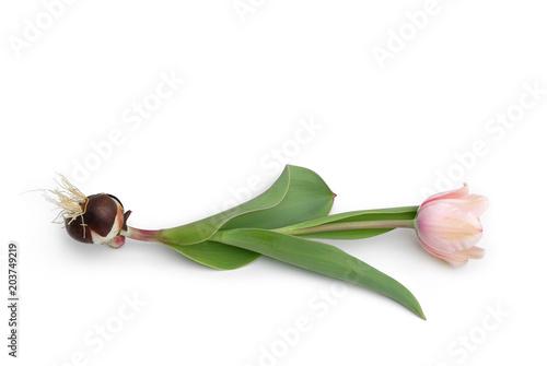 Tulpe mit Zwiebel liegt auf weißem Hintergrund