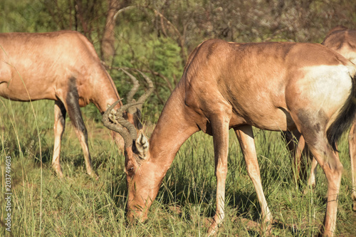 Foto op Canvas Antilope tsessebe in pilanesberg park