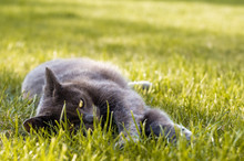 Gray Cat With Shiny Eyes Laying In The Fresh Green Grass In The Garden, Copy Space