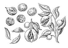 Nutmeg Spice Vector Drawing. Ground Seasoning Nut Sketch. Dried Seeds And Fresh Mace Fruits Herbal