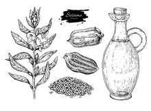 Bottle Of Sesame Oil With Plant And Seed. Vector Hand Drawn