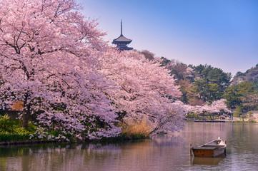 Fototapeta japan. Cherry blossom Sakura.