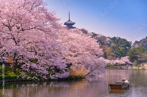 japan. Cherry blossom Sakura.