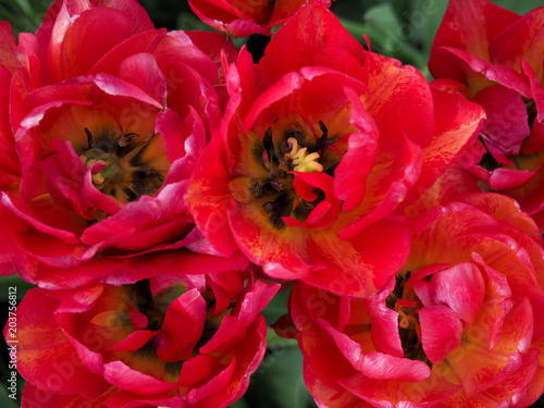 Staande foto Roses Field with tulips at sunrise in spring, Tulips for women, Red, yellow, white tulips in garden on a sunny day
