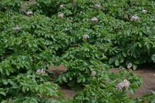 Potato Blossoms