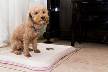Poodle Dog Next To Training Toilet Tray With Poop Faeces