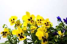 Yellow Flowers Against White B...
